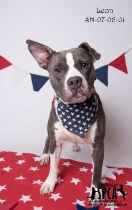 Adopt Dro On Pitbulls Dog Love Pitbulls Pet Adoption