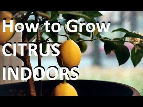 4b8c6c4473477a751f017d271c10a529 - Growing Citrus The Essential Gardener's Guide