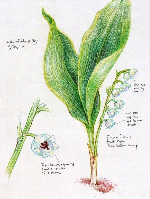 Waldorf ~ 5th grade ~ Botany ~ Lily of the Valley ~ main lesson book