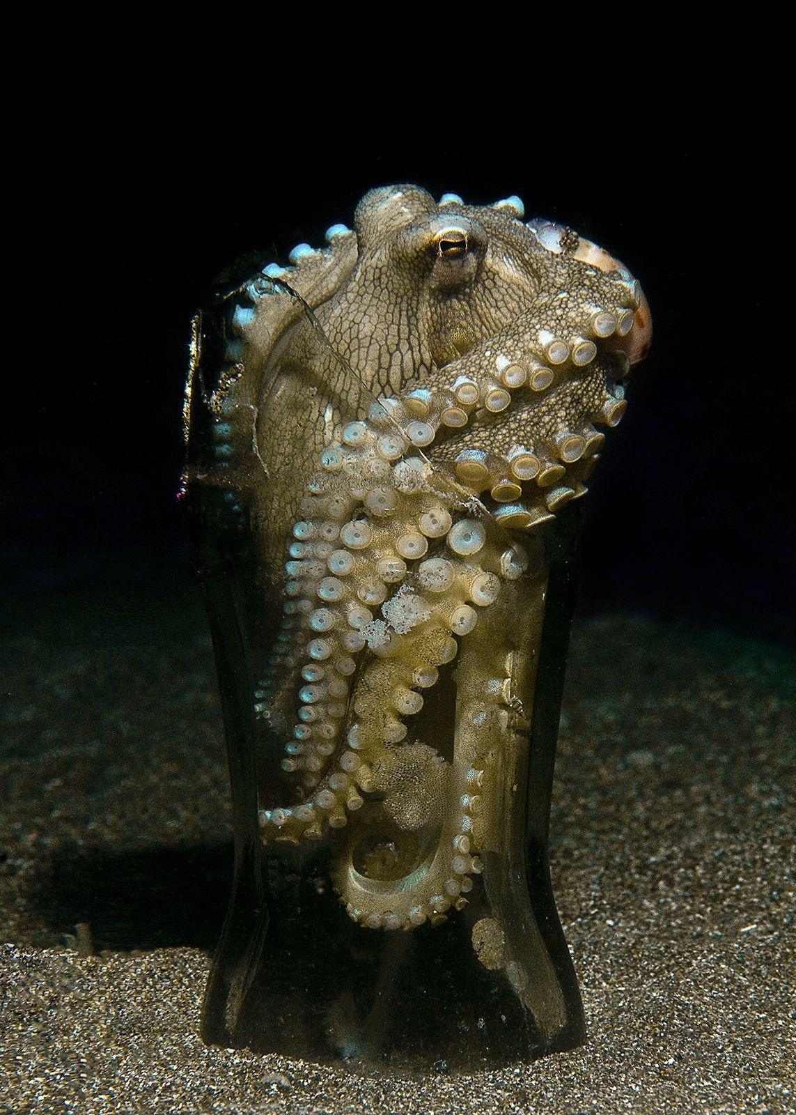 Amphioctopus marginatus (Octopus) was found at the Anilao