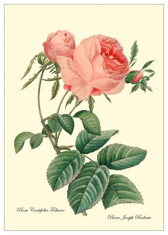 Redoute Fleurs En Peinture En 2018 Pinterest Fleurs