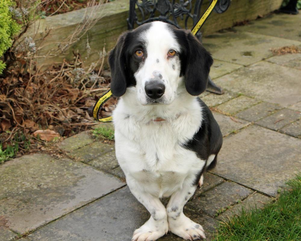 Adopt A Dog Suey Basset Hound Dogs Trust Dog Adoption Dogs