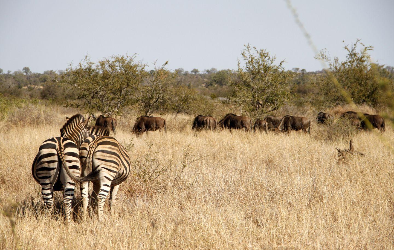 Zebra butts @ Kruger Park, South Africa - Ruth Kolthof Fotografie
