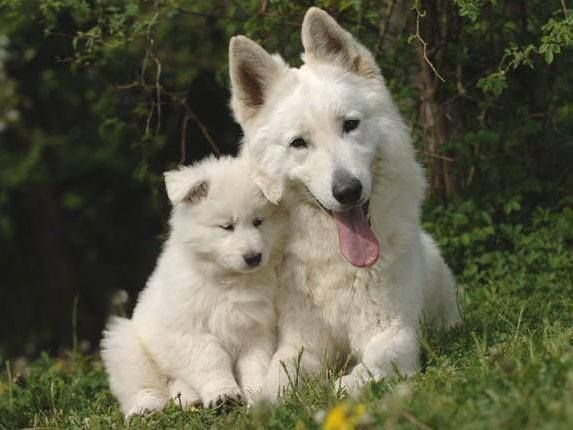 Beautiful Berger Blanc Suisse Mum And Her Pup Mommy