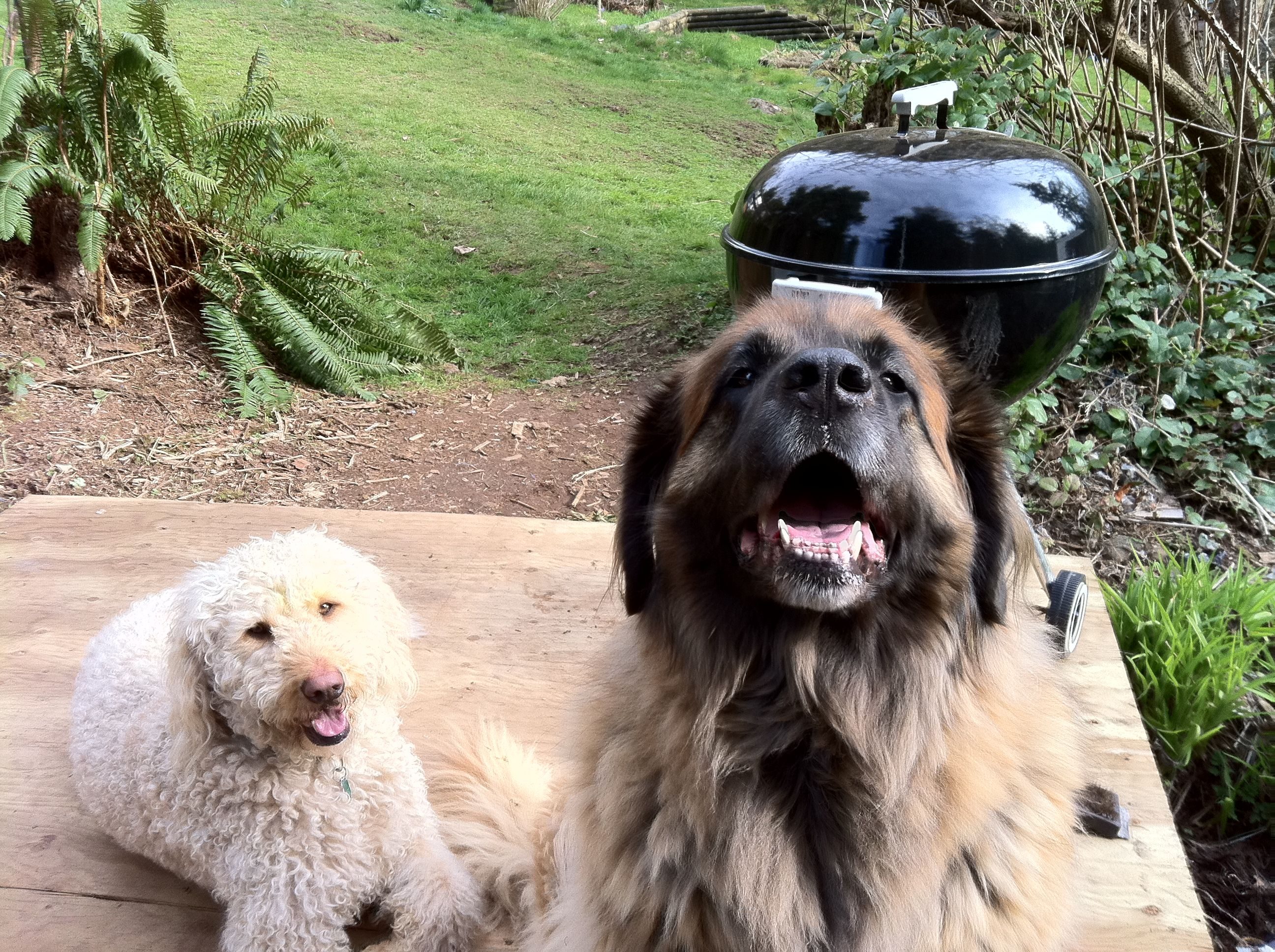 oh is that chicken i smell dad? piggy our leonberger and otis our golden doodle