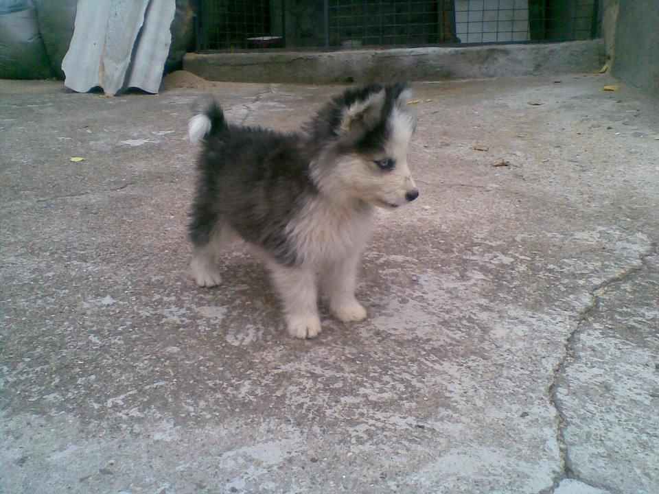 Micro Husky Puppy Pictures Cute Animals Alaskan Husky