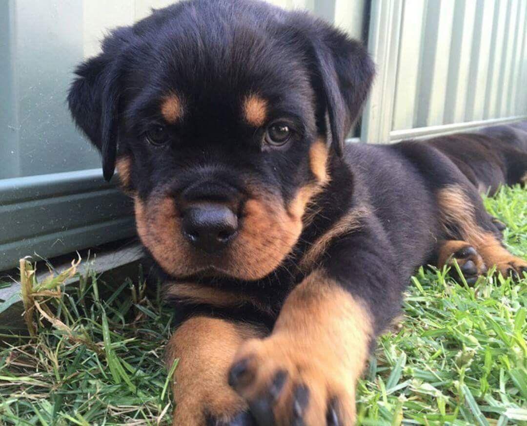 Buy Sell Rottweiler Puppies Online Https Www Dogspuppiesforsale Com Rottweiler Rottweiler Puppies Rottweiler Dog Rottweiler