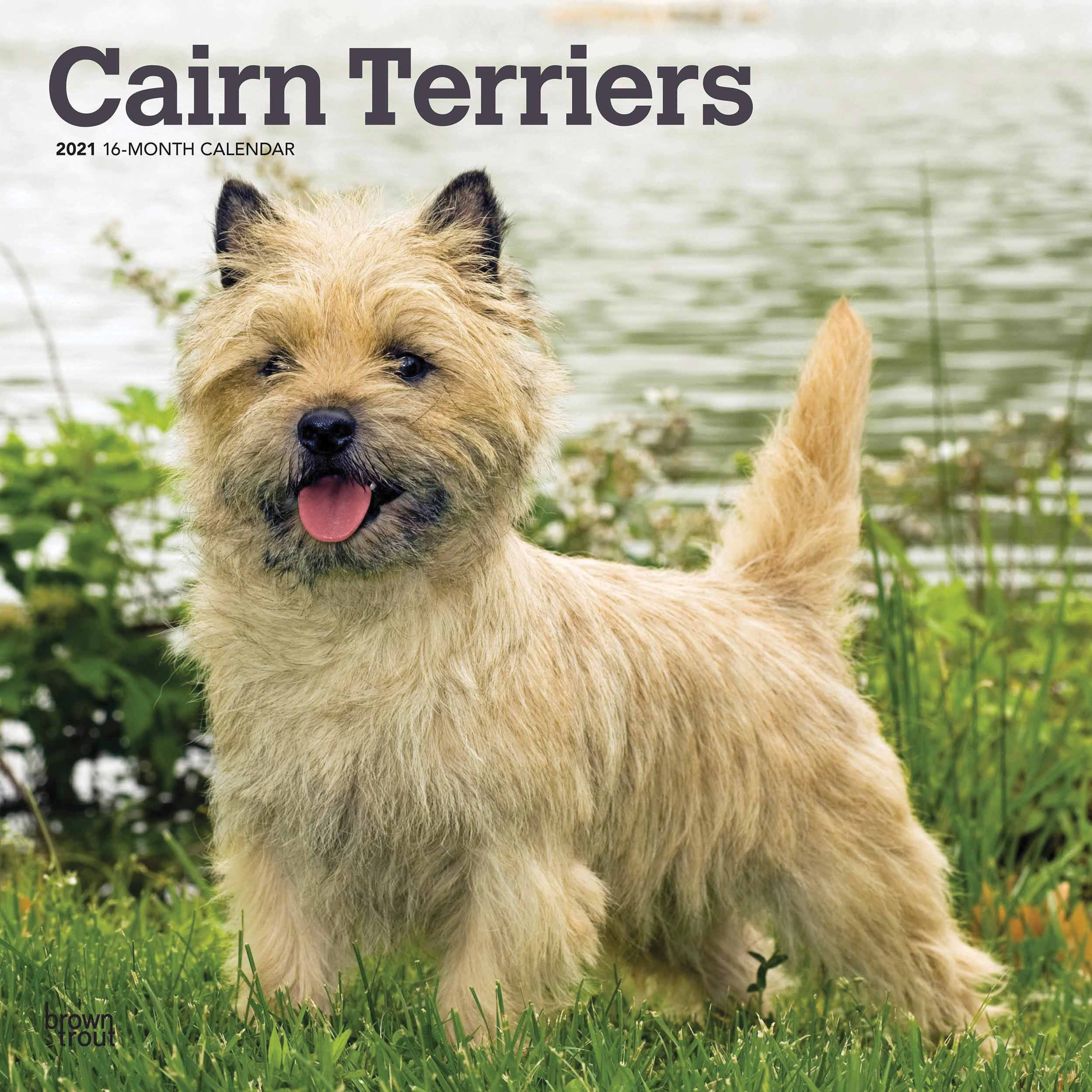 Small Blonde Terrier Dogs Breeds Google Search In 2020 Cairn Terrier Cairn Wall Calendar