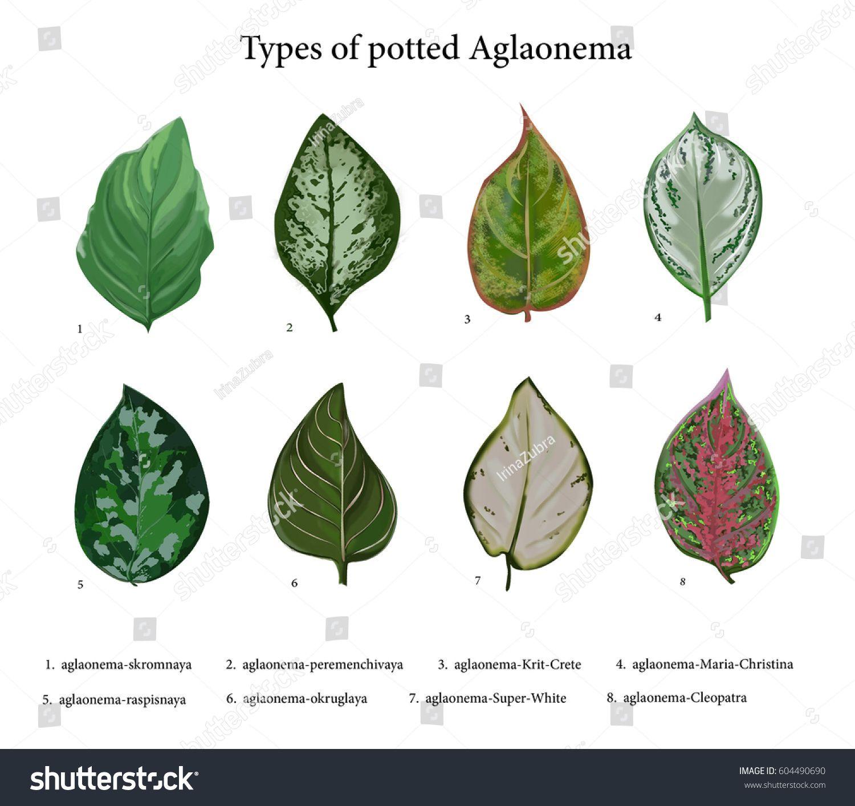 aglaonema varieties and their names - HD1500×1413