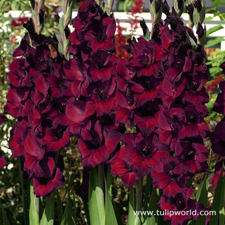 Top Quality Espresso Large Flowering Gladiolus Covered By Our 100 Grow Guarantee Bulb Flowers Gladiolus Spring Plants