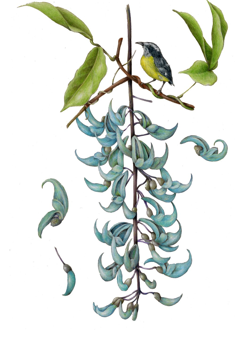 Jade Vine. From the collection of botanical illustrations ...  Jade Vine. From...