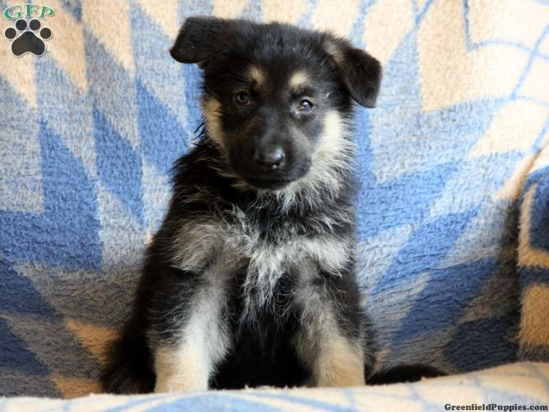 Nelicia German Shepherd Puppy For Sale In Ephrata Pa