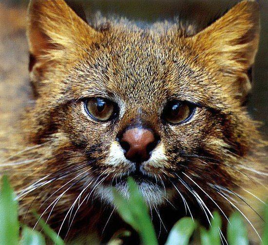 Пампасская кошка   Кошки и котята, Дикие животные, Кошачьи ...