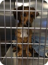 Kansas City Mo Dachshund Mix Meet Bambino A Puppy For Adoption