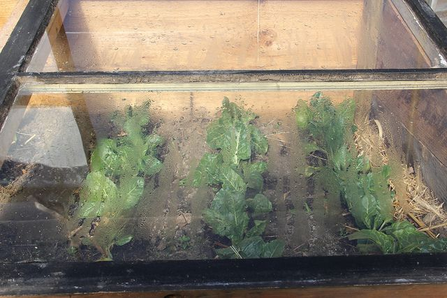 Swiss chard in cold frame greenhouse