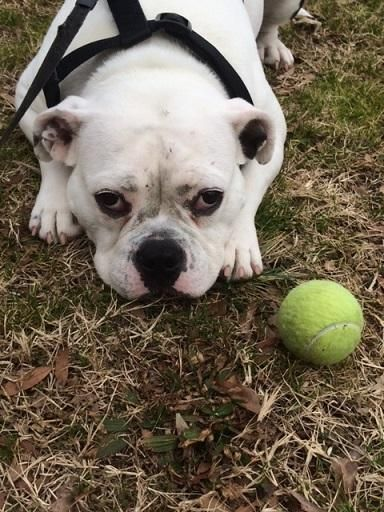 Adopt Jelly Bean on adoption French bulldog, Jelly