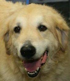 Golden Pyrenees dog for Adoption in Silver Spring, MD. ADN-510819 on PuppyFinder.com Gender: Male. Age: Senior