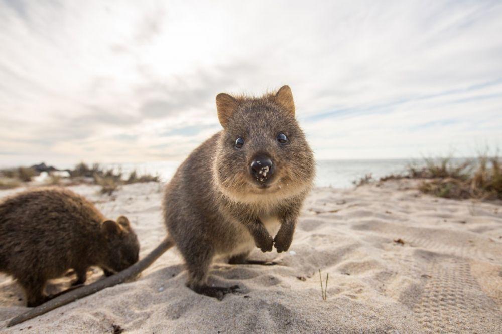 2 Night Rottnest Island Escape Sorrento Beach Australia Animals Quokka Happy Animals
