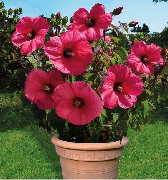 hibiscus moscheutos planet griotte plante en ligne. Black Bedroom Furniture Sets. Home Design Ideas