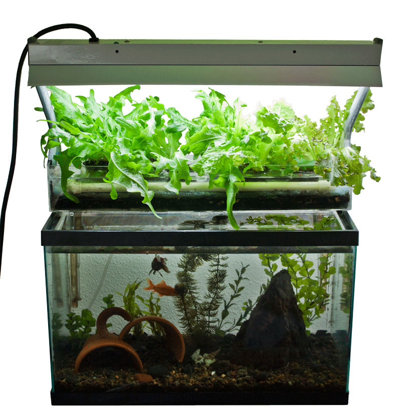 Fish Tank Aquaponics System Check out my personal Aquaponics