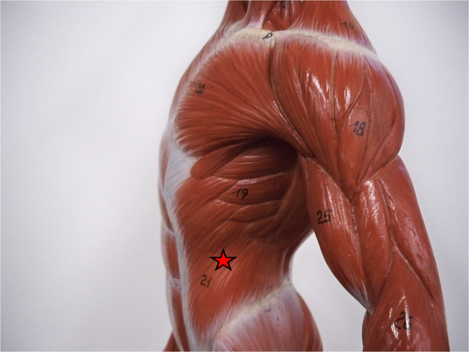 abdominal external oblique muscle | abdominal anatomy | pinterest, Human Body