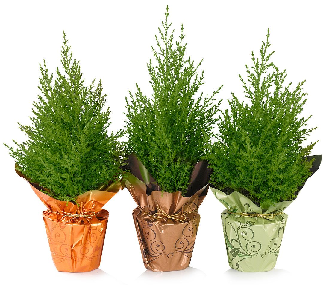 Holiday Trees Indoor Potted Plants European Pines | Christmas tree shop, Client gifts christmas ...
