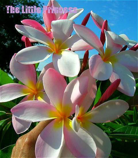 Heirloom30 Seeds Plumeria Mixed Colors Flower Fresh And Colorful High Quality Seeds Plumeria Rubra Frangipani Sale Diy Plant