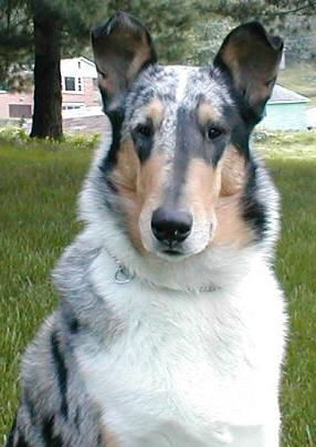 Smooth Collie Blue Merle Smooth Collie