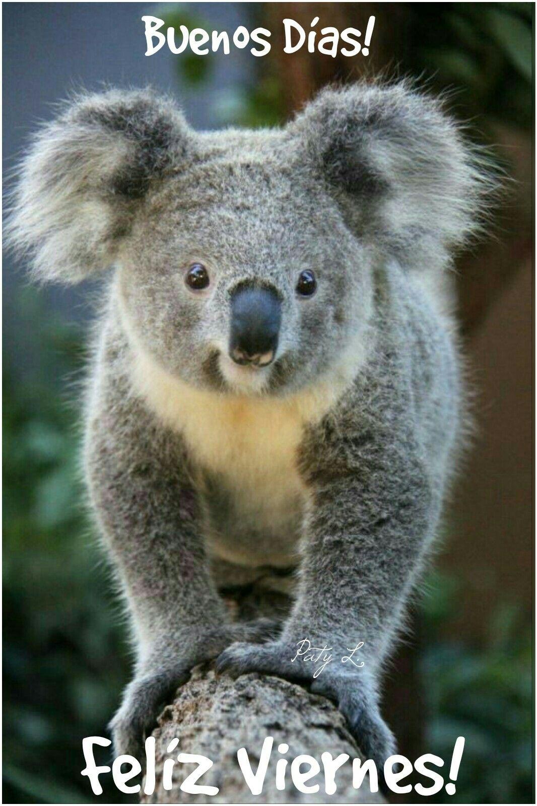 Resultado de imagen para Un koala bebé  imagen y frase