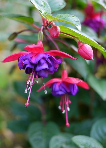 Fuchsia Plants Pictures Meanings Of The Fuchsia Plant Fuchsia Plant Plant Pictures Plants