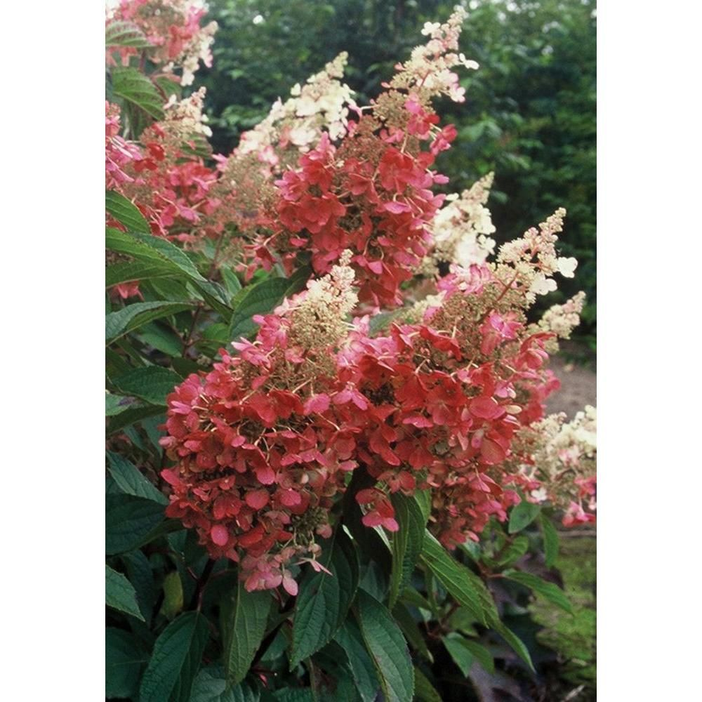 Pinky Winky Hardy Hydrangea Paniculata Live Shrub White And Pink Flowers 3 Gal