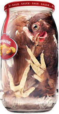 les poules en cages souffrent de stress, de douleurs chroniques
