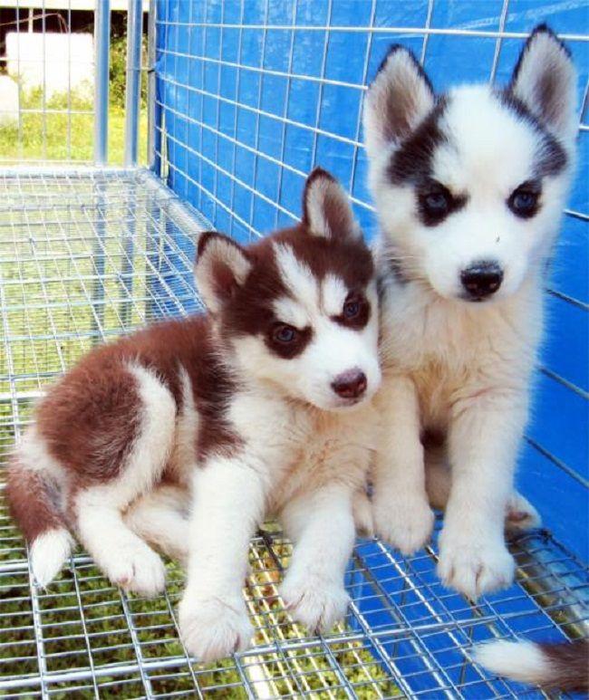 Brown husky puppy