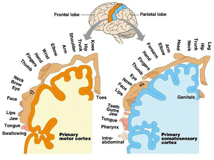 Motor And Sensory Cortex Of Brain Nursing Stuff Pinterest