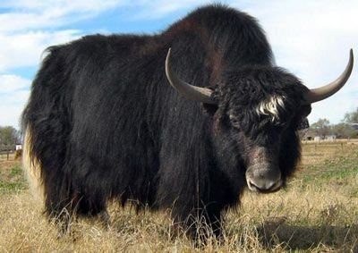 Tibetan Yaks For Sale In New Jersey At Woodsedge Wools Animals Animal Faces Animals Wild