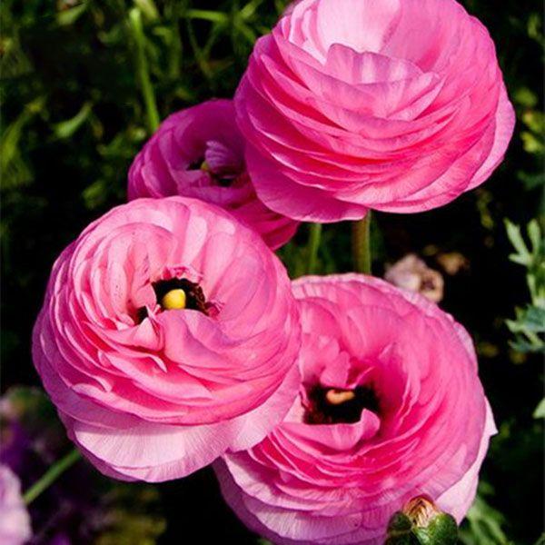 Plant buttercup flower seeds