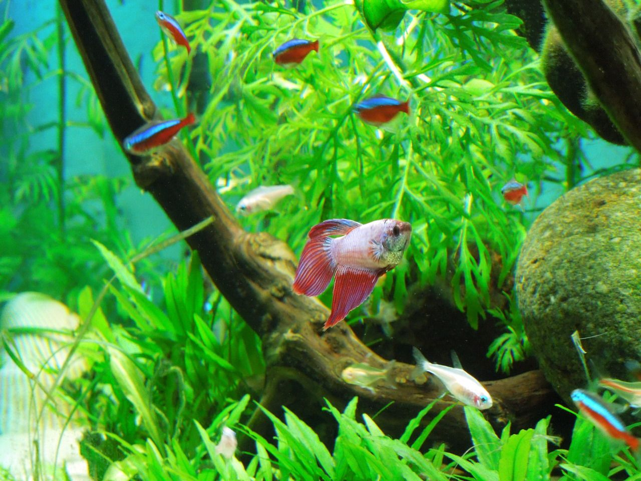 Betta fish community aquarium tetras and bettas look for Fish tank care