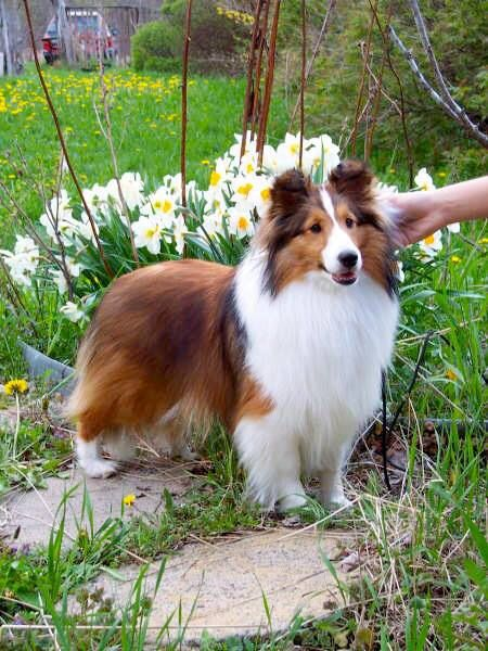 A Gorgeous Sable White Sheltie In The Garden Among The Flowers
