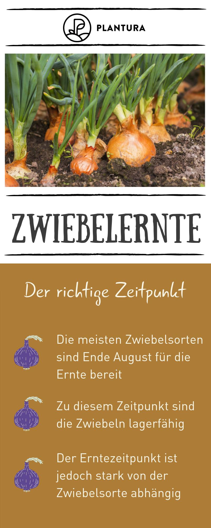 Zwiebeln Ernten Und Lagern Plantura Zwiebeln Ernten Zwiebeln Gemuse Pflanzen