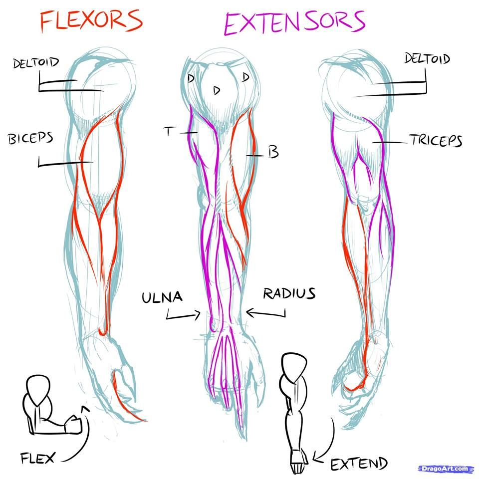 brazos musculos realista | ANATOMIA REFERENCIAS | Pinterest ...