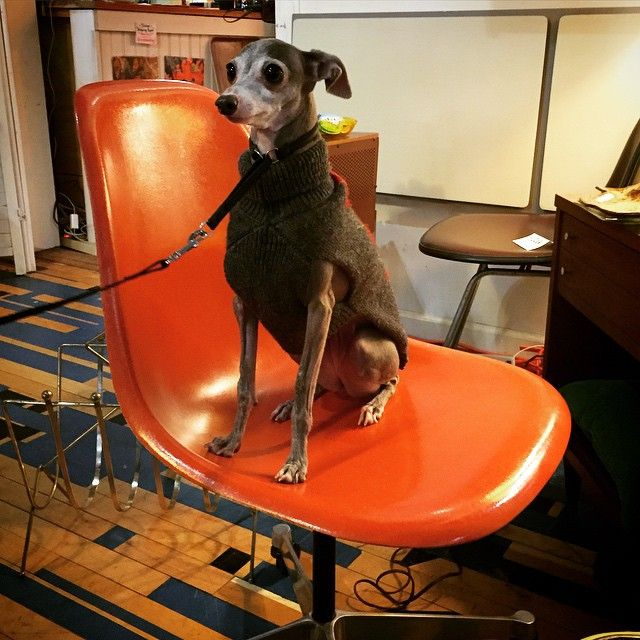 #eames #dogonchair Today I had one my favorite pet friends stop by and take a break #onmyeames. Say hello to Taz everybody!