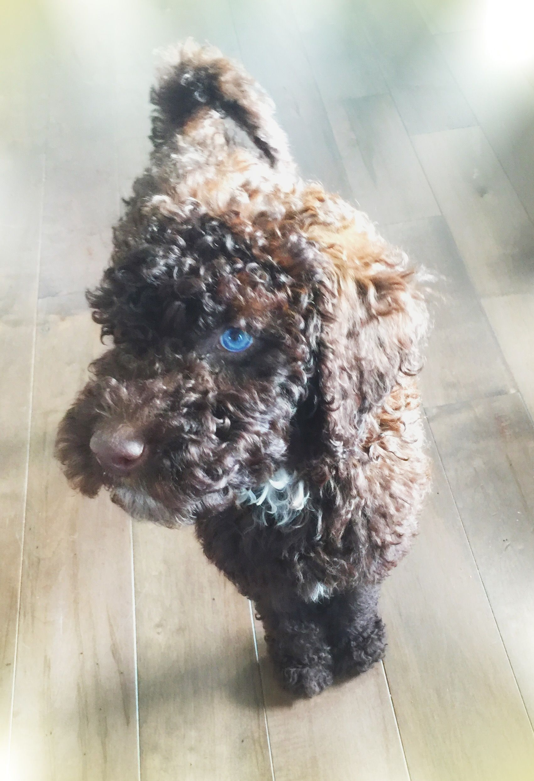 Chocolate Labradoodle With Blue Eyes Love Love Love