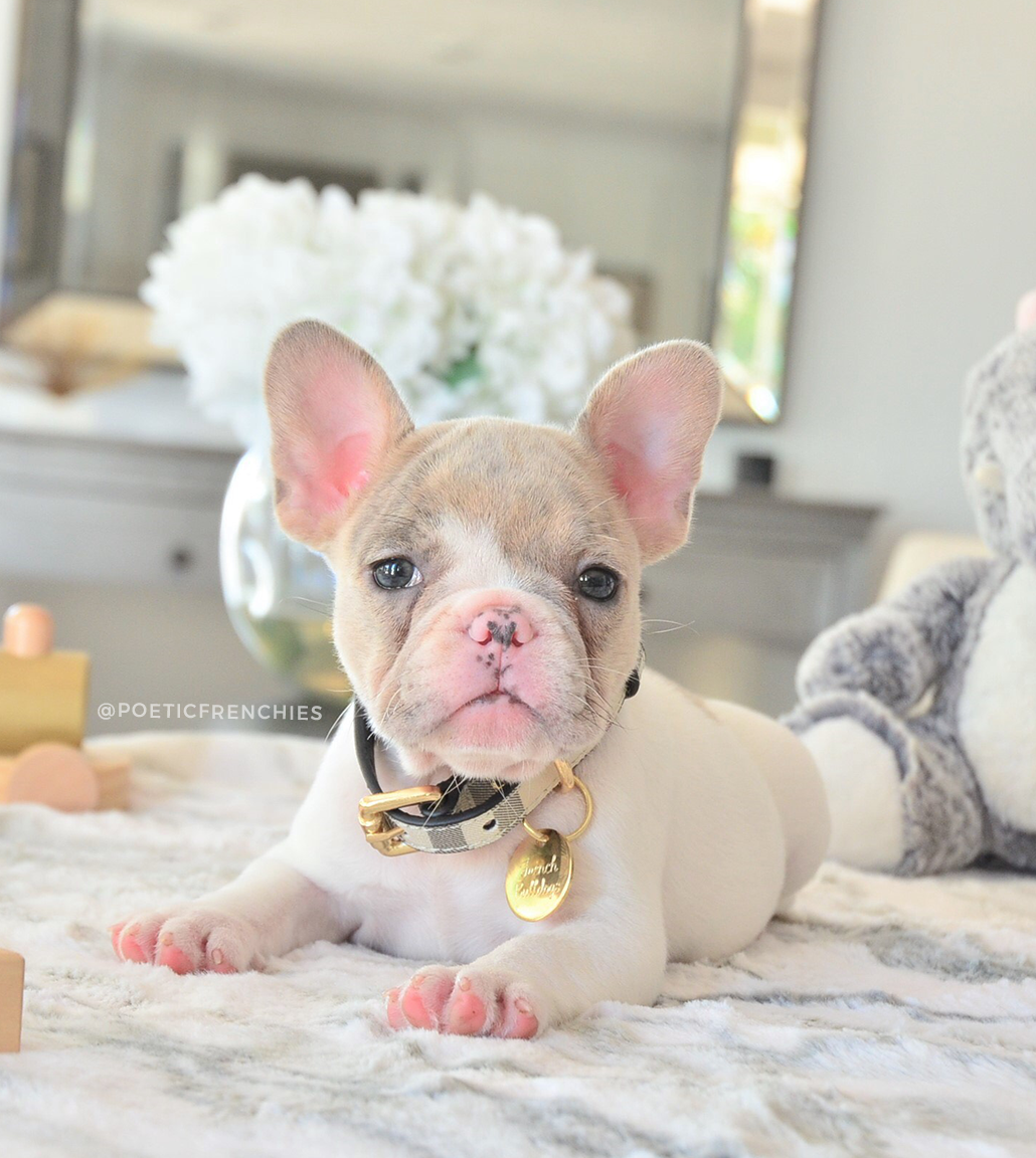 Miss Little Willow Is Looking For Her Fur Ever Home Www Poeticfrenchbulldogs Com French Bulldog Puppies For Sale Health Certificate Fr French Bulldog Puppies Bulldog Puppies For Sale Bulldog Puppies