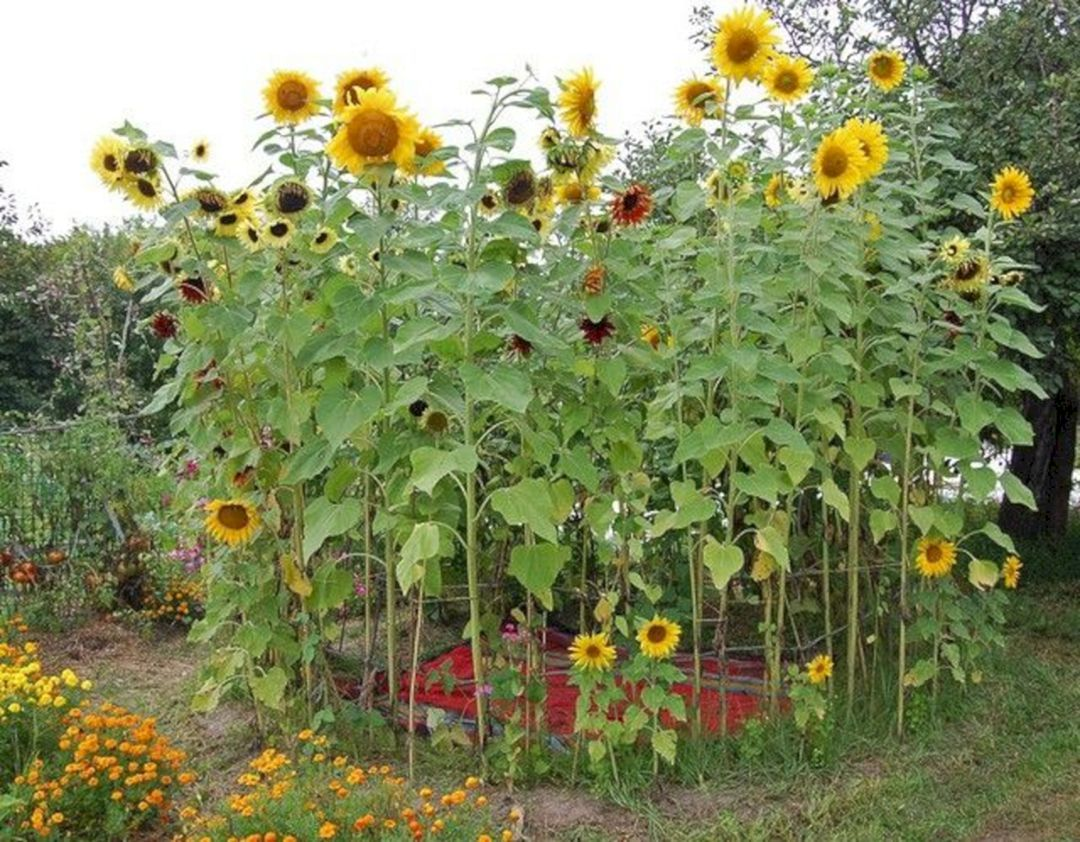 Pin By Debra Todd On Gardening Flower Garden Design Growing Sunflowers Sunflower House
