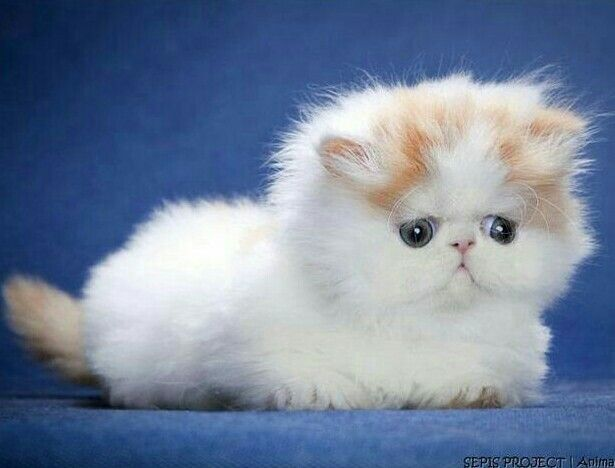 Cute Cats And Dogs Image By Sabah On Persian Kittens Cute Cats Cats And Kittens