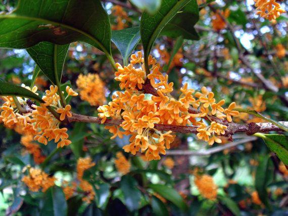 Osmanthus Fragrans Orange 5 Seeds, Very Fragrant Olive, Cold Hardy
