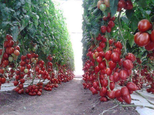 Cherry Tomato Garden! Absolutely Beautiful.