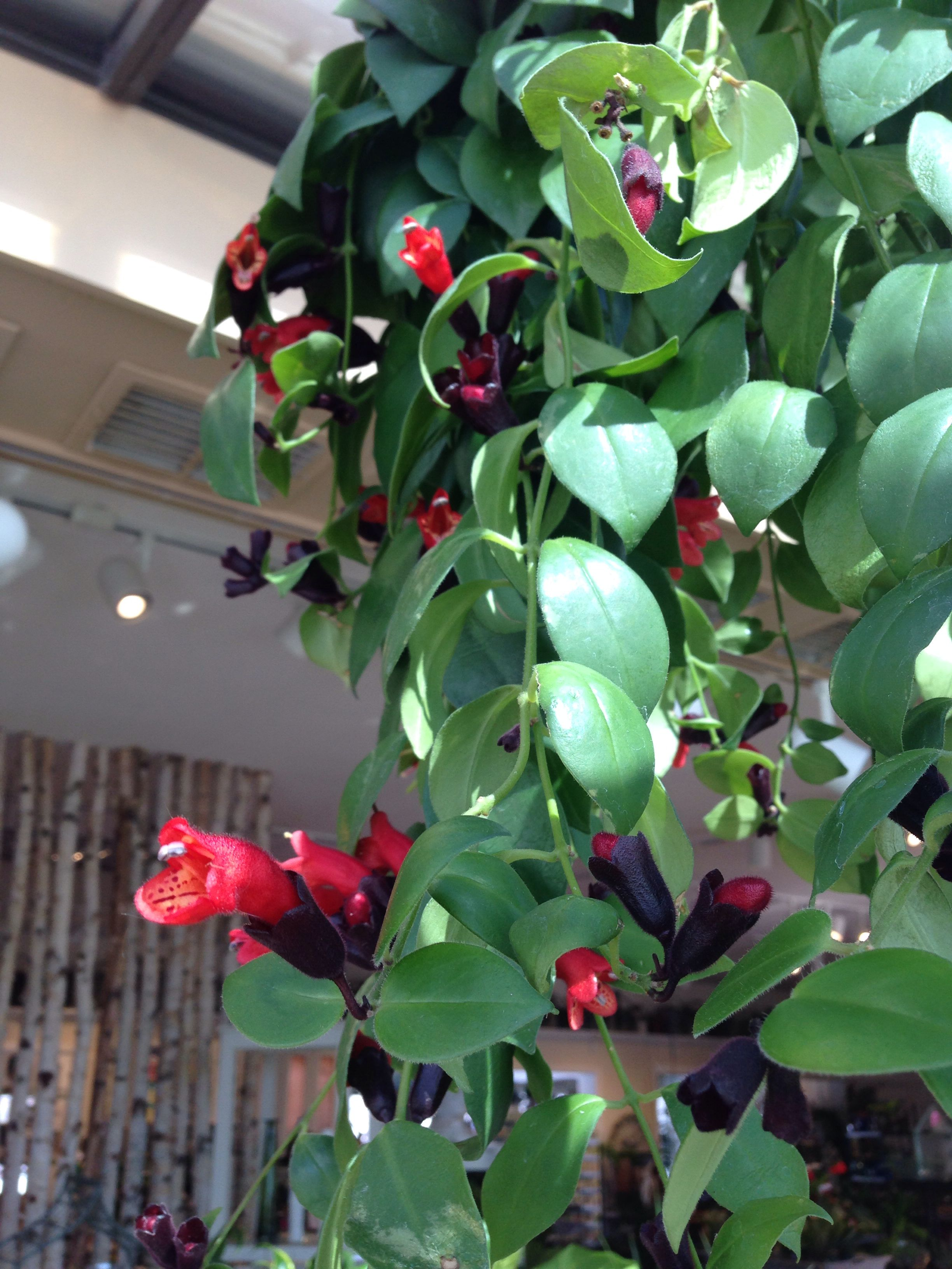 Twisted lipstick plant cats