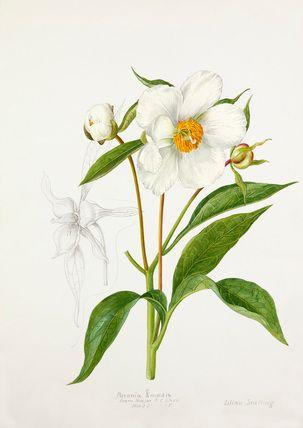 Lilian Snelling -- Paeonia emodi -- Peony -- View By Flower -- RHS Prints