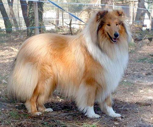 Beautiful Collie Collie Rough Collie Pet Dogs